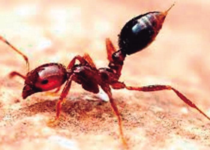 La peligrosa hormiga de fuego
